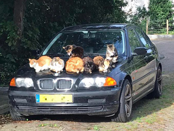 seven cats on hood of bmw car