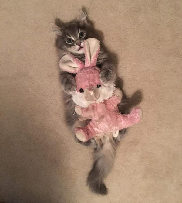 kitten with stuffed bunny