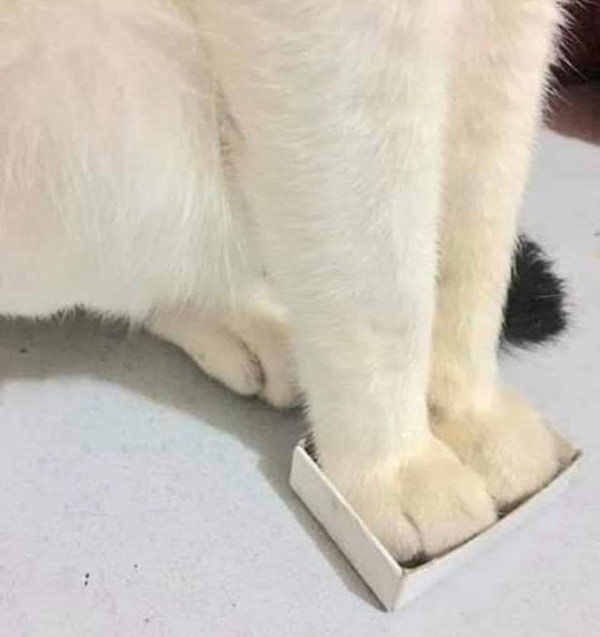white cat with feet in tiny box
