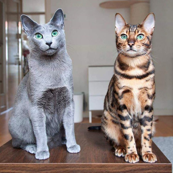 russian blue and bengal cats