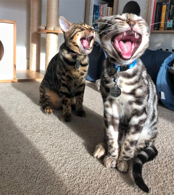 two cats yelling